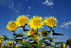 Cultivated sunflowers: Link to photo information