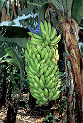 Plantains: Click here for photo caption.