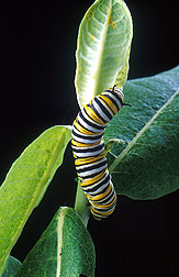 Photo: A large monarch caterpillar feeds on a common milkweed plant. Link to photo information
