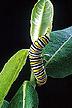 Una oruga de la mariposa monarch se alimenta en una planta de milkweed