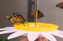 A newly emerged monarch butterfly: Click here for full photo caption.