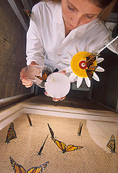 Student aid releases a monarch butterfly into a breeding cage: Click here for full photo caption.