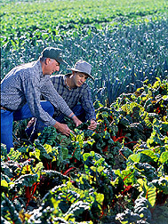 Organic farmer and horticulturist inspect leaves of red chard: Click here for full photo caption.