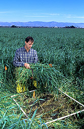 Horticulturist harvests a bundle of rye crop cover: Click here for full photo caption.