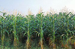 Organically grown corn: Click here for full photo caption.
