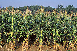 Conventionally grown corn: Click here for full photo caption.