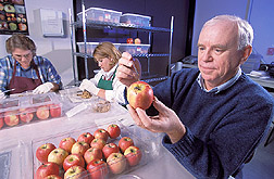 Entomologist infests apples with codling moth larvae: Click here for full photo caption.