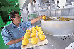 Technician places oranges in a water bath heated with radio waves: Click here for full photo caption.