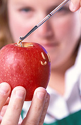 Technician infests an apple with codling moth larvae: Click here for full photo caption.