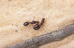 Fire ant queens: Click here for full photo caption.