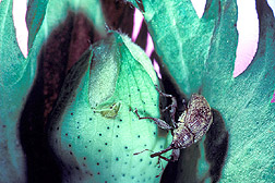 Boll weevil on a cotton boll: Click here for photo caption.
