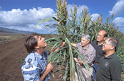 Two entomologists, a Hawaii Department of Agriculture administrator, and a University of Hawaii professor inspect a Sudax border sprayed with GF-120 protein bait: Click here for full photo caption.