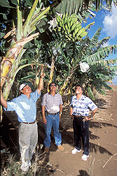 Aloun Farms owner and field manager point out fruit flies hiding in a banana tree to entomologist: Click here for full photo caption.