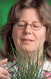 Microbiologist harvests perennial ryegrass tissue: Click here for full photo caption.