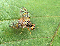 Photo: Mediterranean fruit fly. Link to photo information
