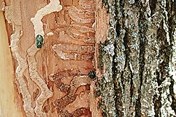 Adult emerald ash borers: Click here for full photo caption.
