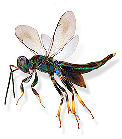 Montage image of a Balcha sp. wasp: Click here for full photo caption.