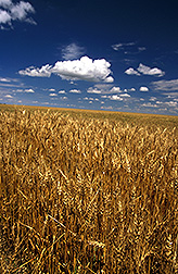 A healthy wheat field: Click here for full photo caption.
