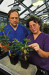 Two plant pathologists examine rhododendrons for symptoms of infection: Click here for full photo caption.
