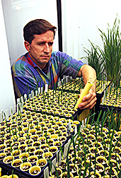 Agronomist David Livingston grows winter oat seedlings during early phase of testing. Link to photo information