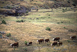 A breeding group of Hereford cattle graze native rangeland at the Fort Keogh Livestock and Range Research Laboratory, Miles City, Montana: Click here for photo caption.