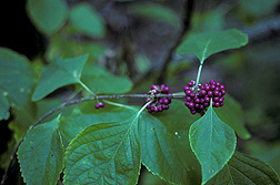 Berries and leaves of American beautyberry, Callicarpa americana, on Pinedale Farm: Click here for full photo caption.