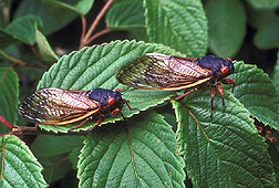 Cicadas, Magicicada septendecimthe: Click here for photo caption.