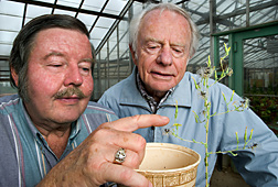 Bert Robinson and Edward Ryder harvest seeds from a potted Lactuca virosa plant in a greenhouse: Link to photo information