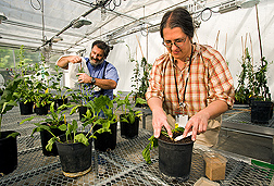 Plant pathologist inoculates sugar beet plants with a pathogen, while plant geneticist isolates a plant to restrict pollen to make desired crosses: Click here for full photo caption.