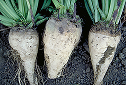 Healthy sugar beets: Click here for photo caption.