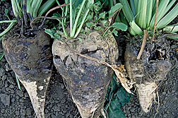 Sugar beets infected with Rhizoctonia root rot: Click here for photo caption.