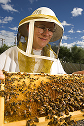 Entomologist observes bees from an African honey bee colony: Click here for full photo caption.