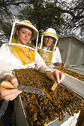 While entomologist observes, technician releases marked European worker bees: Click here for full photo caption.