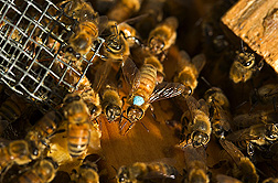 A marked European worker bee: Click here for full photo caption.