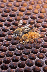 An Africanized honey bee (left) and a European honey bee on honeycomb: Click here for full photo caption.