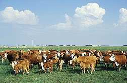 Cattle in a field. Link to photo information