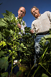 Plant geneticist and plant physiologist inspect cotton plants for their fruit retention under heat stress conditions: Click here for full photo caption.