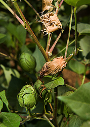Aborted or shed fruit on a cotton plant as a result of heat sensitivity: Click here for photo caption.