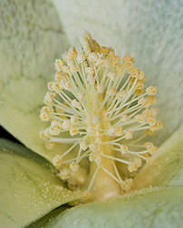 Heat-tolerant cotton flower: Click here for full photo caption.