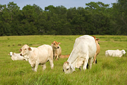 Photo: Brahman cattle grazing. Link to photo information