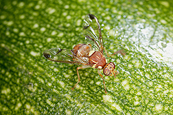 Melon fly: Click here for photo caption.