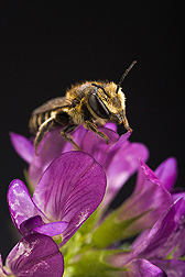 Photo: Alfalfa leafcutting bee on an alfalfa flower. Link to photo information
