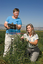 Technician (left) and entomologist check alfalfa flowers for pollination: Click here for full photo caption.