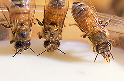Honey bees devour a new, nutrient-rich artificial diet, the result of 5 years of research: Click here for photo caption.
