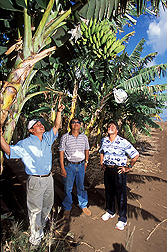 Aloun Farms owner (left) and field manager (center) point out fruit flies hiding in a banana tree to ARS entomologist: Click here for full photo caption.