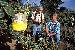 Tsukasa Yamamoto (left) of B.E.S.T. Farms and ARS technician Mike Klungness examine a patch of fruit-fly-free tomatoes: Click here for full photo caption.