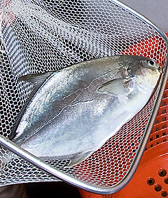 Photo: Pompano fish in a net. Link to photo information