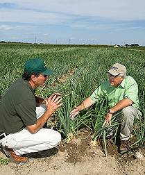 CSU Arkansas Valley Research Center manager (left) and soil scientist examine onions in drip-irrigated research plots at the CSU Arkansas Valley Research Center: Click here for full photo caption.