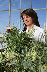 Chemist inspects 1-year-old greenhouse-grown guayule plants at ARS's Western Regional Research Center, Albany, California: Click here for full photo caption.