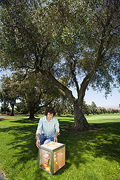 Technician prepares a cage of parasitoids to release into olive trees infested with olive fruit fly in a suburban area of San Jose, California: Click here for full photo caption.